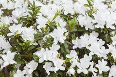 Fleurs blanches de ressort Images libres de droits
