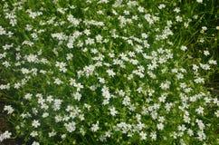 Fleurs blanches de ressort Photos libres de droits