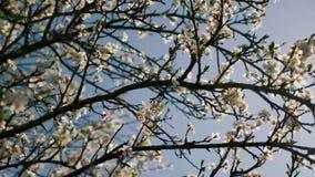 Fleurs blanches de ressort avec des abeilles dans l'arbre en fleur banque de vidéos