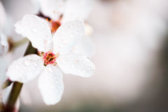 Fleurs blanches de ressort avec la rosée photographie stock