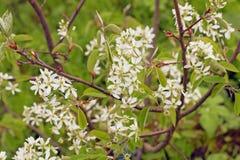 Fleurs blanches de ressort Canadensis fleurissant d'Amelanchier de Serviceberry images stock