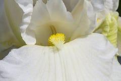 Fleurs blanches de ressort dans un jardin Fleur d'iris Photos libres de droits