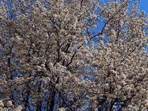 Fleurs blanches de ressort fleurissant sur des branches d'arbre contre un ciel bleu photographie stock