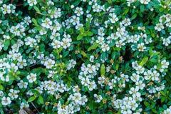 Fleurs blanches de ressort pour le lit de jardin de décoration image stock