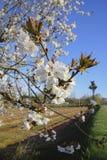 Fleurs blanches de ressort sur l'arbre Image libre de droits