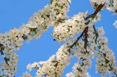 Fleurs blanches de ressort sur une branche d'arbre photographie stock libre de droits