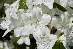 Fleurs blanches de rhododendron Image libre de droits