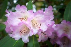 Fleurs blanches de rhododendron avec une frange pourpre photo libre de droits