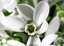 Fleurs blanches de snowdrop photos stock