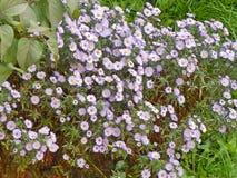 Fleurs blanches de souci Image libre de droits