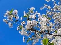 Fleurs blanches de source Images stock