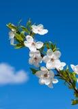 Fleurs blanches de source Image libre de droits