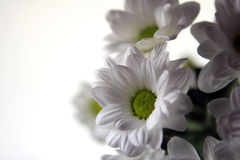 Fleurs blanches de source photo stock