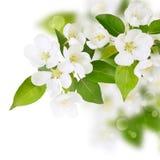 Fleurs blanches de source fraîche Photos libres de droits