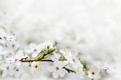 Fleurs blanches de source sur un branchement d'arbre Photographie stock