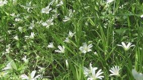 Fleurs blanches de Stellaria sauvage balançant sur le vent Ressort Le Stellaria est un genre usines fleurissantes d'espèces dans  banque de vidéos