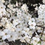fleurs blanches de fleurs sur l'arbre du ressort photographie stock libre de droits