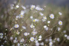 Fleurs blanches de wildflower d'aster Photos stock