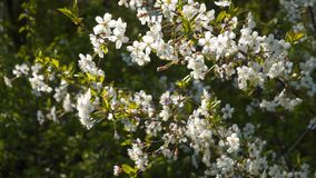 Fleurs blanches des cerises de floraison clips vidéos