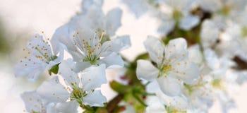 Fleurs blanches des cerisiers au printemps Photographie stock