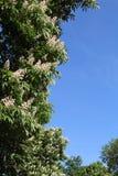 Fleurs blanches des châtaignes avec le ciel bleu Photos libres de droits