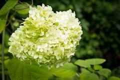 Fleurs blanches des feux de la rampe de Paniculata d'hortensia Photo stock