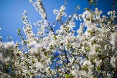 Fleurs blanches des fleurs de cerisier une journée de printemps dans le jardin images libres de droits