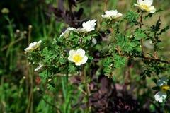 Fleurs blanches des hanches sauvages de briar pollinis?es par des insectes image stock