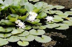 Fleurs blanches des nénuphars Photo libre de droits