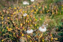 Fleurs blanches dissipées de coltsfoot couvertes de baisses de rosée minuscules photo libre de droits