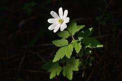Fleurs blanches douces d'anémone Photo libre de droits