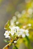 Fleurs blanches douces de source Photographie stock