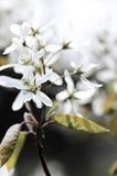 Fleurs blanches douces de source Images libres de droits