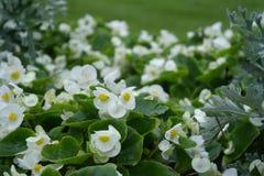 Fleurs blanches en vert images stock