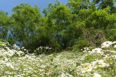 Fleurs blanches et arbres Images libres de droits