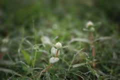 Fleurs blanches et baisses de rosée de matin Photos libres de droits