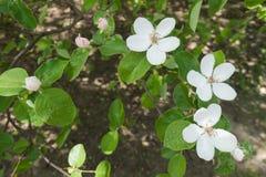 Fleurs blanches et bourgeon floraux rosâtres de coing Photo libre de droits