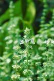 Fleurs blanches et feuilles vertes avec des feuilles et tiges couvertes de cheveux fins blancs images libres de droits