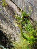 Fleurs blanches et herbe s'élevant hors du mur de ciment Photos libres de droits