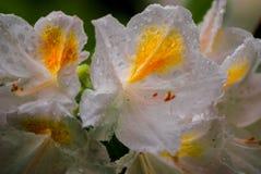 Fleurs blanches et jaunes photographie stock