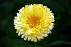 Fleurs blanches et jaunes Image libre de droits