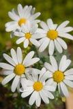 Fleurs blanches et jaunes Photographie stock libre de droits
