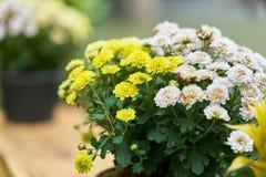 Fleurs blanches et jaunes dans le pot, belle fleur de ressort de fleurs Images libres de droits