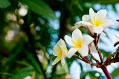 Fleurs blanches et jaunes de frangipani Photo libre de droits