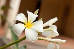 Fleurs blanches et jaunes de frangipani Image libre de droits