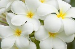 Fleurs blanches et jaunes de frangipani Images libres de droits