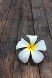 Fleurs blanches et jaunes de frangipani Photographie stock libre de droits