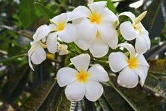 Fleurs blanches et jaunes de frangipani Images stock