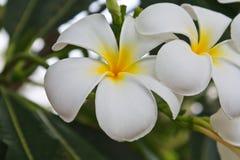 Fleurs blanches et jaunes de frangipani Photos libres de droits