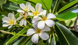 Fleurs blanches et jaunes de plumeria Photographie stock libre de droits